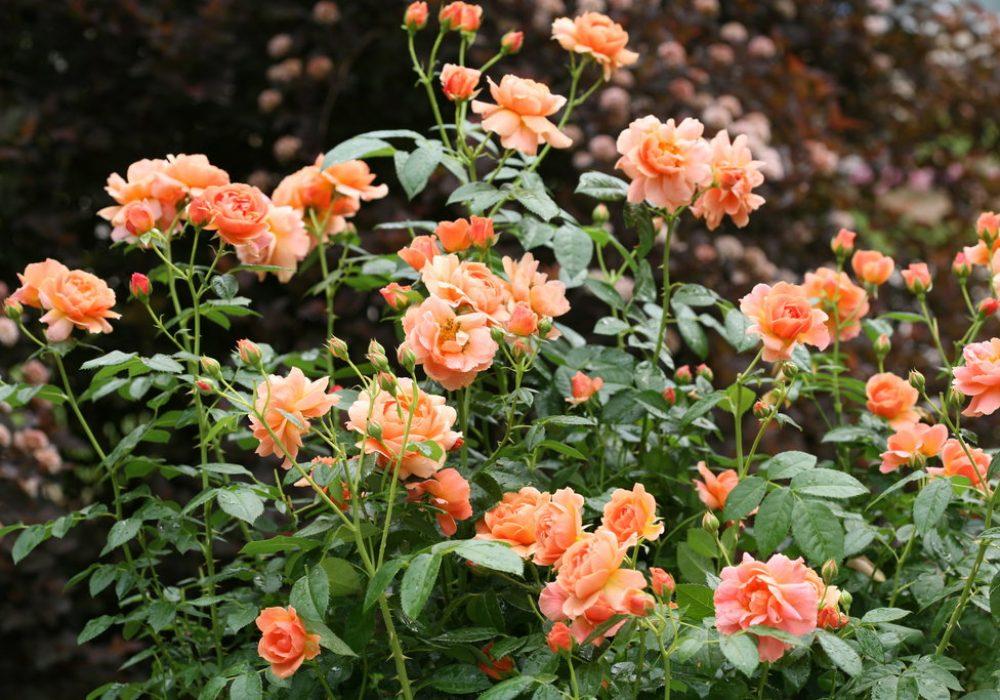 at-last-rose-1.jpg