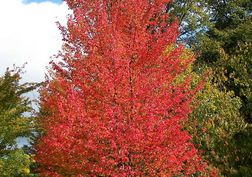 autumn-blaze-maple-2.jpg