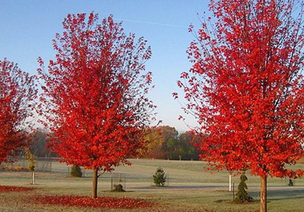 autumn-blaze-maple-4.jpg