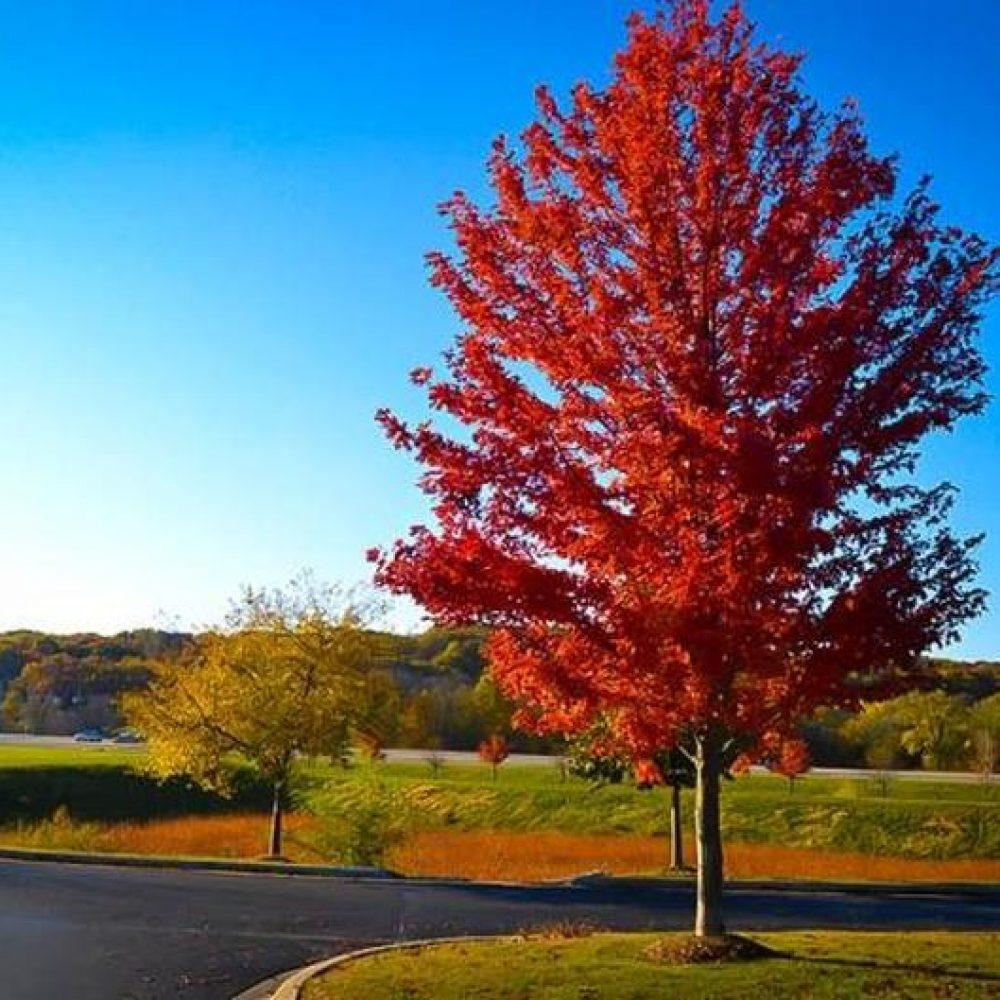 autumn-blaze-maple-5.jpg