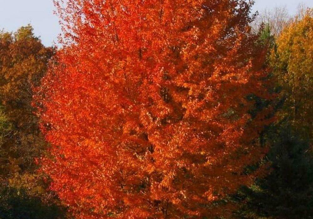 autumn-blaze-maple-6.jpg