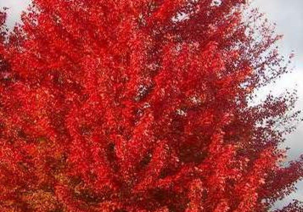 autumn-blaze-maple-9.jpg