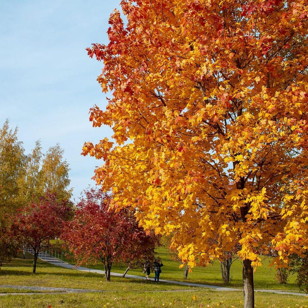 autumn-fantasy-maple-1.jpg