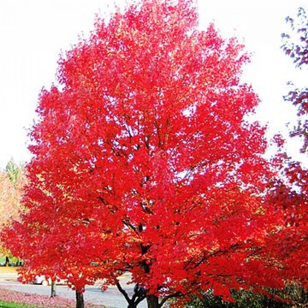 autumn-fantasy-maple-2.jpg