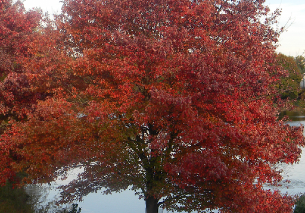 autumn-fantasy-maple-3.png