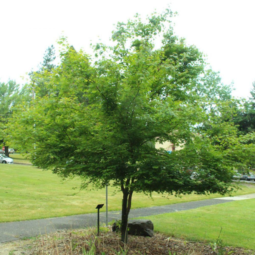 green-leafed-japanese-maple-1.jpg