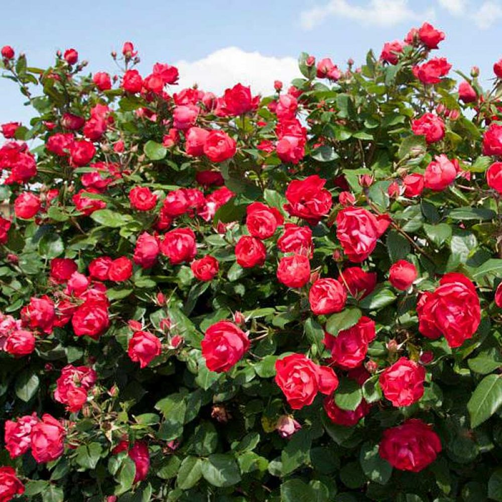oso-easy-double-red-rose-1.jpg