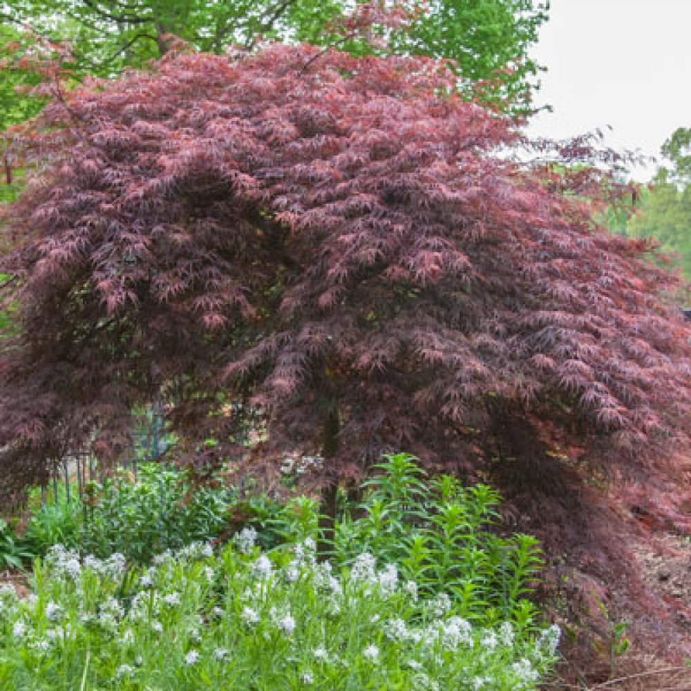 Acer palmatum 'Tamukeyama' 1.CR2